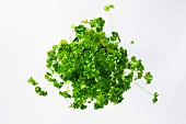 Fresh parsley in a flower pot