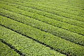 A tea plantation, Japan
