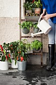 Woman watering potted vegetable plants on floor and hung from ladder