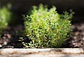Thyme plants in a garden