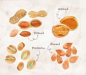 An arrangement of nuts featuring peanuts, walnuts, pistachios and almonds (illustrations)