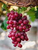 Californian grapes