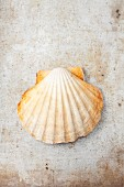 A scallop in a shell (seen from above)