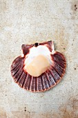 A fresh scallop in a shell