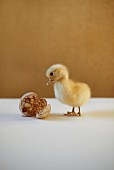 A live chick with a tea-stained duck egg