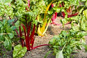 Colourful chard plants and young pepper plants in a flower bed