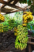Bunches of bananas in Madeira (Portugal)
