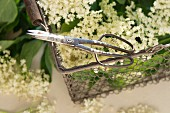 Scissors on a metal basket of elderflowers