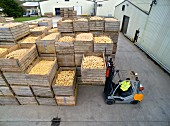 A forklift truck transporting crates of freshly harvested potatoes across a factory yard