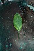 A fresh sage leaf