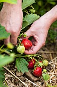 Strawberries being picked