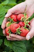 Hands holding freshly picked strawberries
