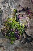 Freshly cut green and purple cress with a pair of scissors