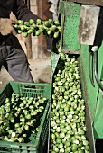 Brussels sprouts being removed from their stalk by machine