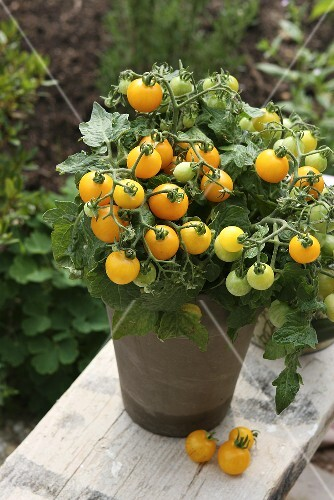 Yellow vine tomatoes in a pot in a garden