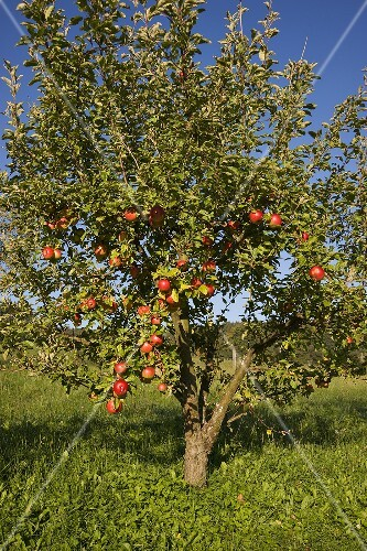 An apple tree in a field