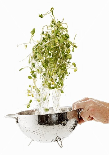Sunflower sprouts being washed