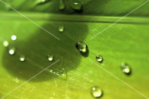 Drops of water on a leaf (close-up)