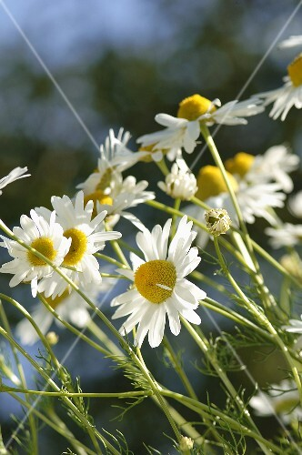 Camomile flowers (outside)