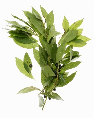 Branches of bay leaves