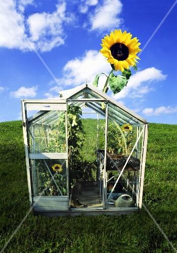 eine sonnenblume ragt aus dem gew chshaus bild kaufen 944315 stockfood. Black Bedroom Furniture Sets. Home Design Ideas