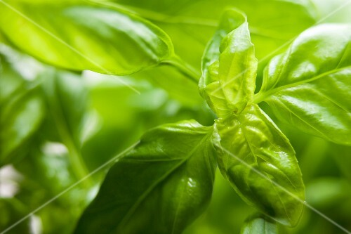 Basil (close-up)