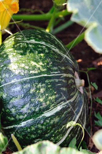 A squash in a field (close-up)