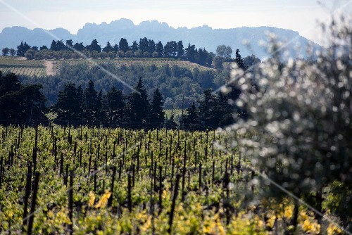 A view over a vineyard in Gigondas with the Dentelle de Montmirail in the background