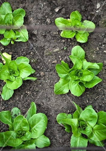 Lettuces in a flower bed (seen from above)