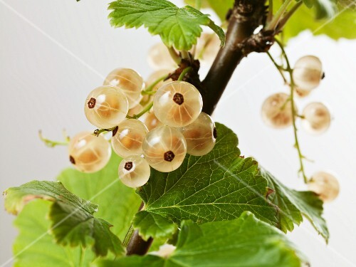 White currants on a bush (close-up)