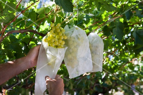 Green grapes being harvested