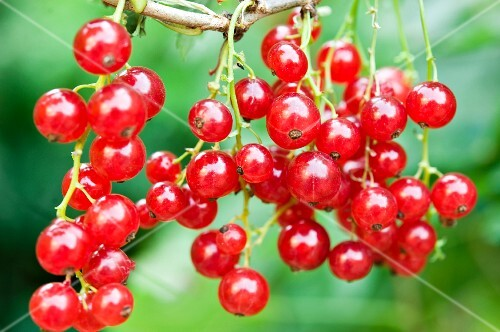 Redcurrants on the plant