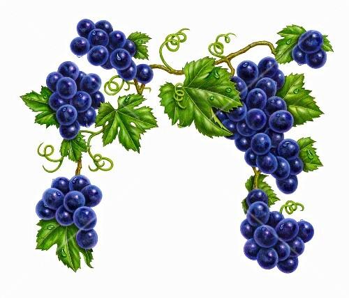 Bilder Blaue Weintrauben ~ Blaue Weintrauben an Ranken mit Blättern (Illustration) – StockFood