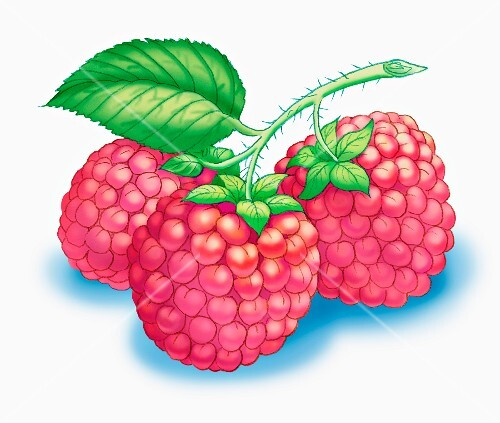 A sprig of three raspberries (illustration)