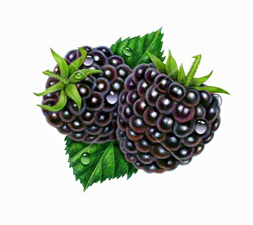 Two wet blackberries with leaves (illustration)