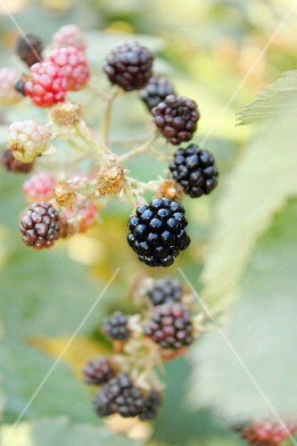 Ripe and unripe blackberries on a twig