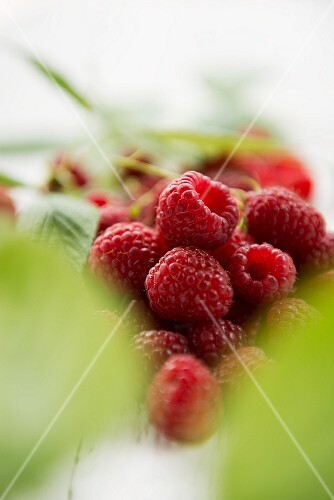 Freshly picked raspberries