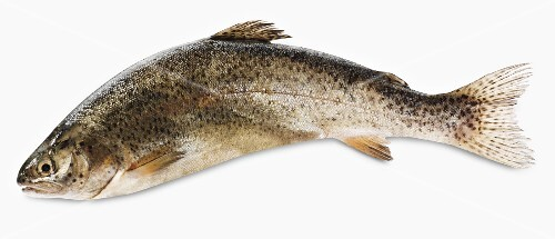 A fresh trout against a white background