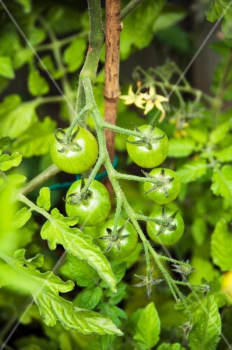 Unripe tomatoes on the plant