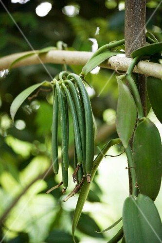 Vanilla pods on the plant