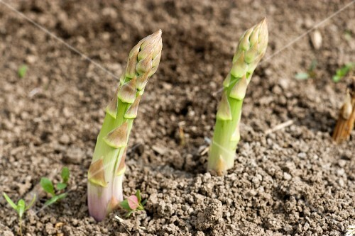 Green asparagus growing in the soil