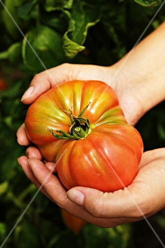Hands holding an Oxheart tomato