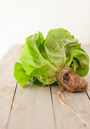 Boston Lettuce with Roots