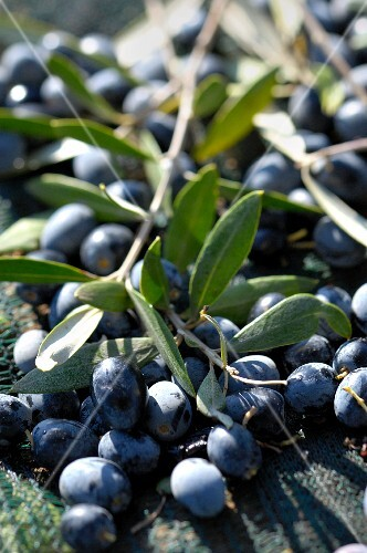 Black olives on the twig