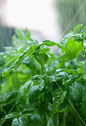A basil plant being rained on in the garden