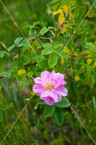 A wild rose on the stem