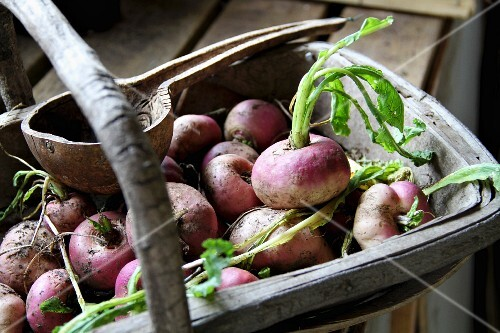 Turnips in a harvest basket
