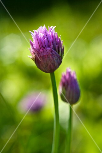 A purple chive flower