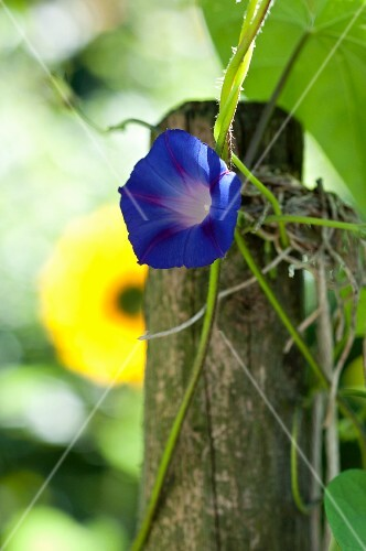 A blue Morning Glory flower in the garden