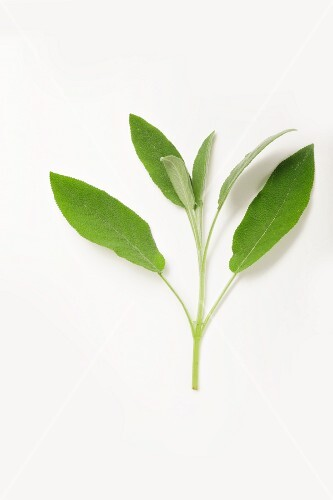 Sage on a white surface